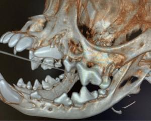 Persistent Deciduous Teeth, Unerupted Permanent Teeth, Dentigerous Cyst, Under Erupted Permanent Teeth, & Periodontal Disease in a 12-Month-Old MN Shih Tzu: Our Case Of the Month August 2020